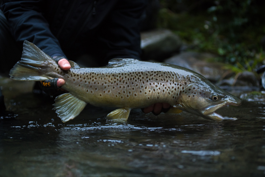 new zealand, nz, fly fishing, brown trout, diy, bucknasty browns, huge browns, backcountry, fishing, helis